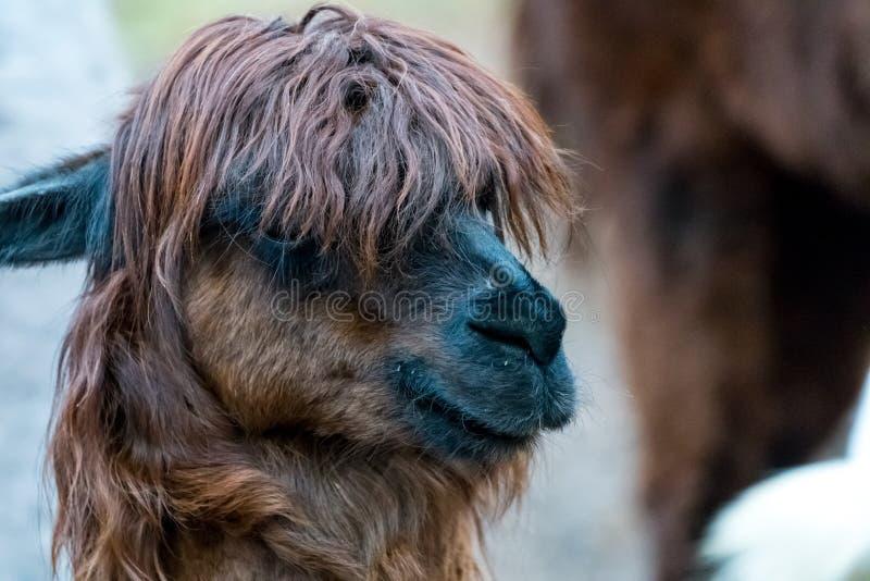Brown-Alpaka mit stilvollem Haarschnitt lizenzfreie stockbilder