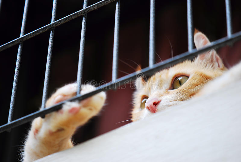 Brown American Curl cat looking out stock photo