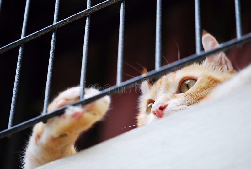 Brown amerykanina kędzioru kot przyglądający out zdjęcie stock
