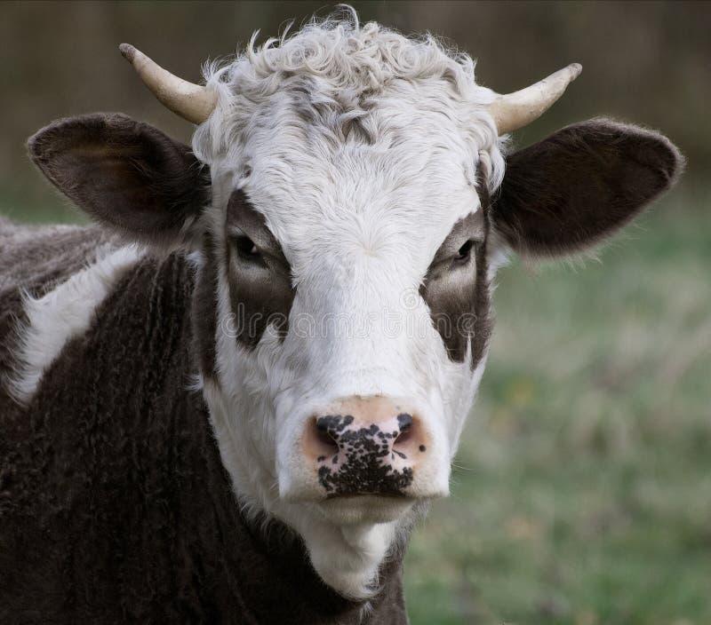 Brown & vaca branca fotos de stock royalty free