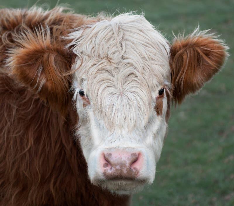 Brown & vaca branca fotos de stock