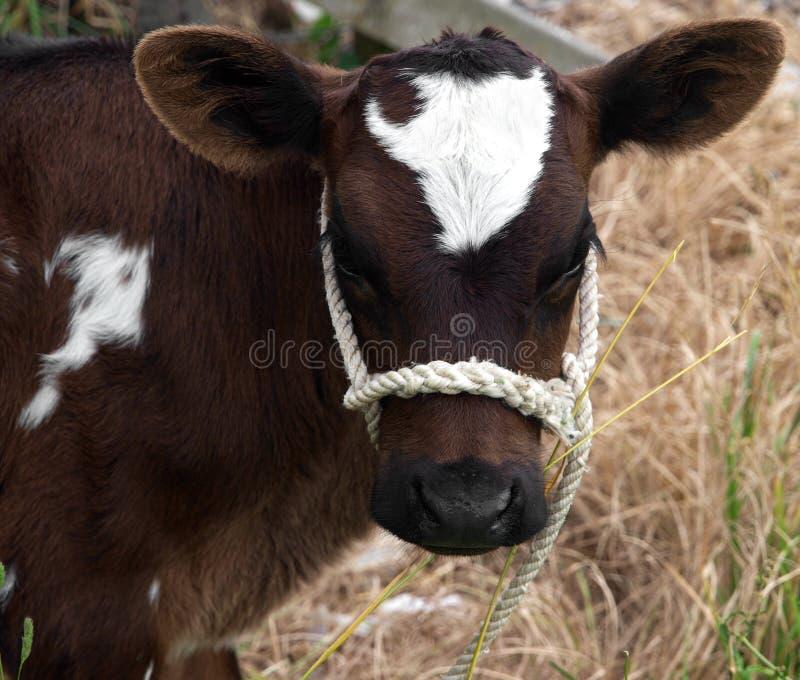 Brown & vitela branca imagens de stock