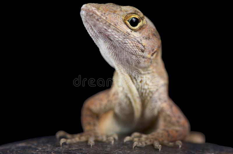 Brown anole Anolis sagrei. The brown anole Anolis sagrei also knwon as the Bahamas anole was native to the Bahamas and Cuba. But these lizards are highly royalty free stock photography