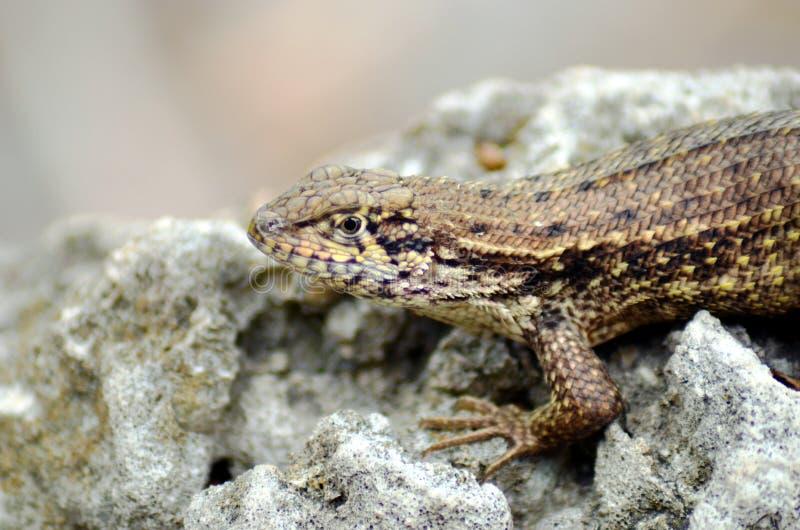 Brown Anole Anolis sagrei jaszczurka na skale fotografia stock