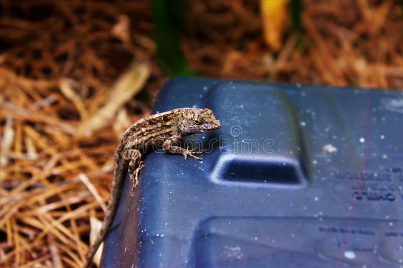 Brown Anole on box royalty free stock photo
