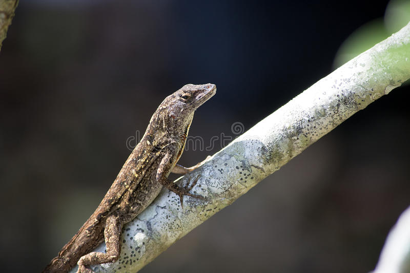 Brown Anole on a Branch stock photo