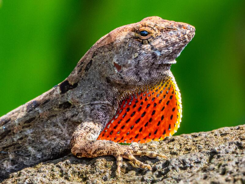 Brown Anole. Close Portrait Of Invasive Brown Anole With Detail Of Its Dewlap, Photographed On Kauai, Hawaii royalty free stock photo