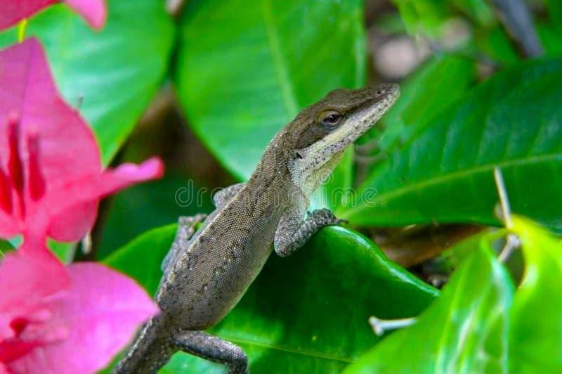 Brown Anole jaszczurka Maui zdjęcie royalty free