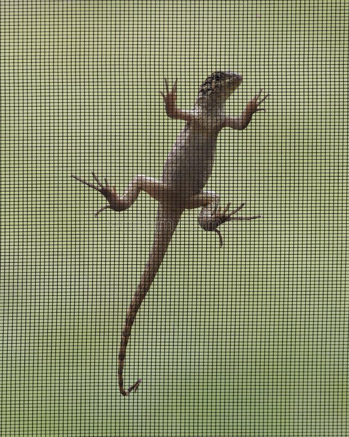 Brown Anole lizard on Window Screen stock photography