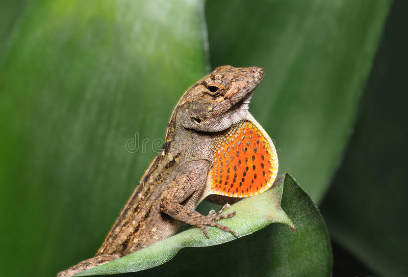 Brown Anole with Throat Fan Expanded. Male Brown Anole with Throat Fan Expanded royalty free stock image