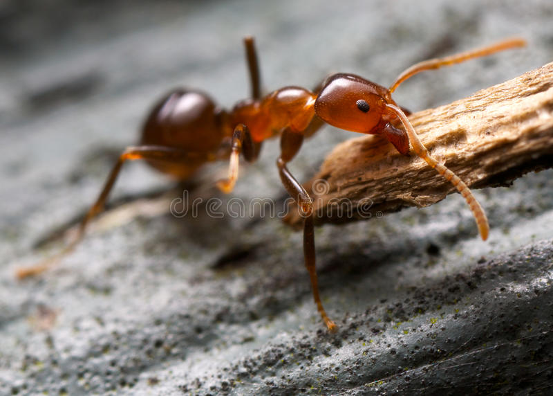 Download Brown Ant Royalty Free Stock Image - Image: 25574516