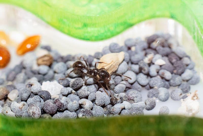 Brown ant Messor Structor em sementes de papoila fotos de stock royalty free