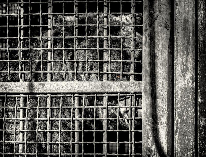 Brown Antivari nella gabbia dello zoo immagini stock libere da diritti
