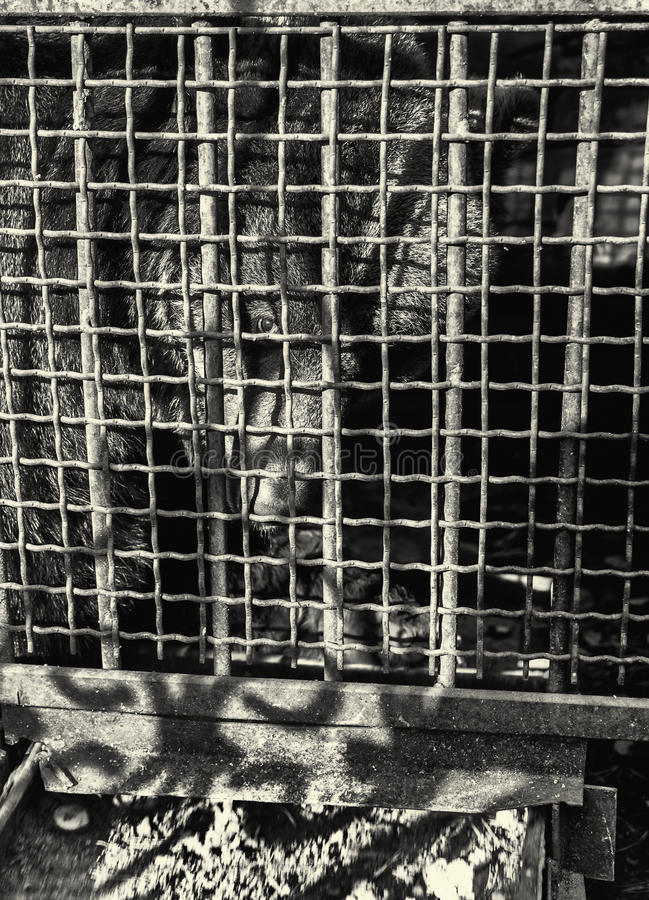 Brown Antivari nella gabbia dello zoo fotografia stock libera da diritti