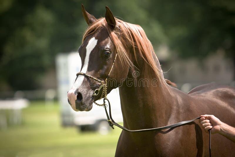 Brown-Araberpferd lizenzfreie stockbilder