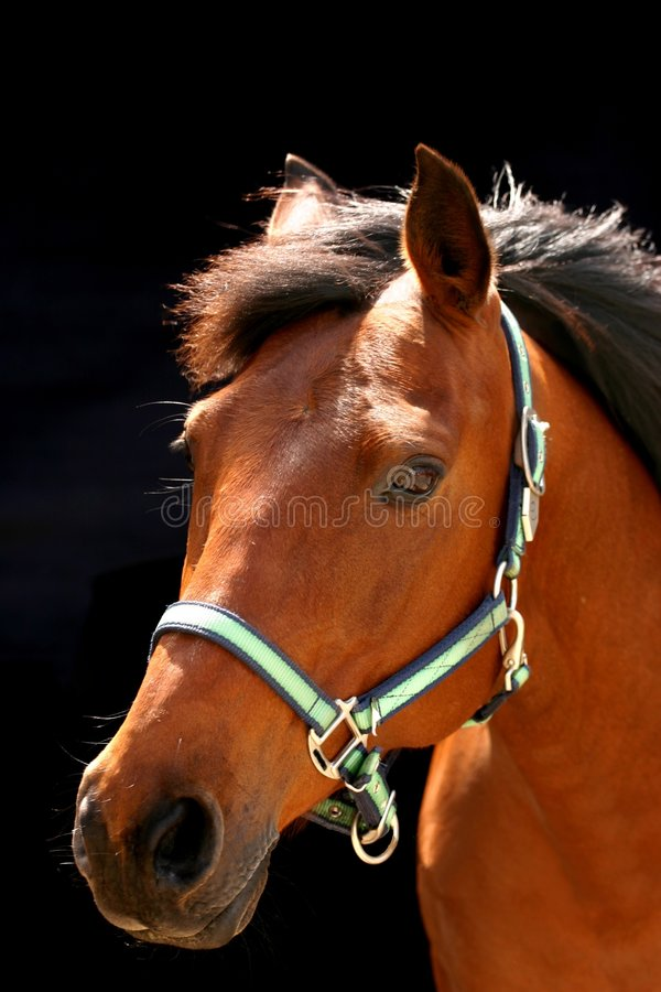 Brown arabian horse royalty free stock photography