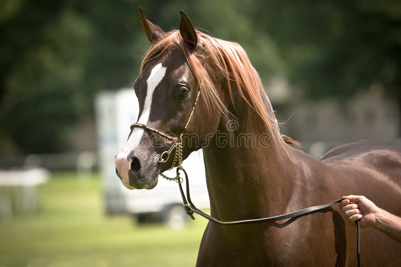 Brown Arabian horse royalty free stock images