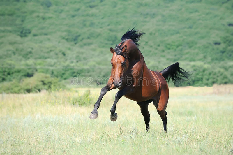 Download Brown Arabian Horse Playing On Pasture Stock Photo - Image: 15882628