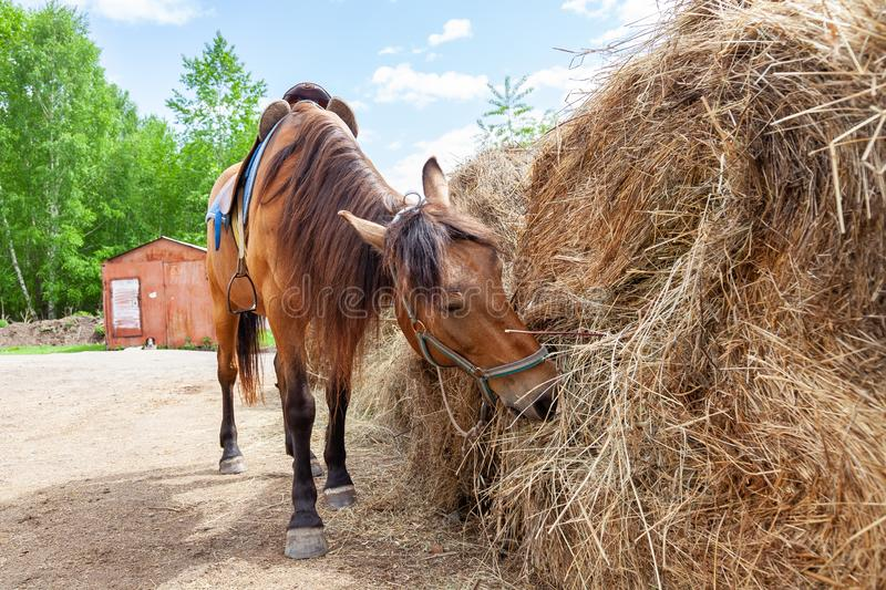 A brown arabian horse with a saddle on his back bowed his head and eats hay from a dry stack royalty free stock image