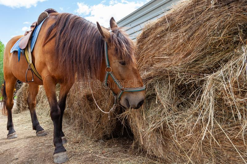 A arabian horse with a saddle on his back bowed his head and eats hay from a dry stack. A brown arabian horse with a saddle on his back bowed his head and eats stock photography