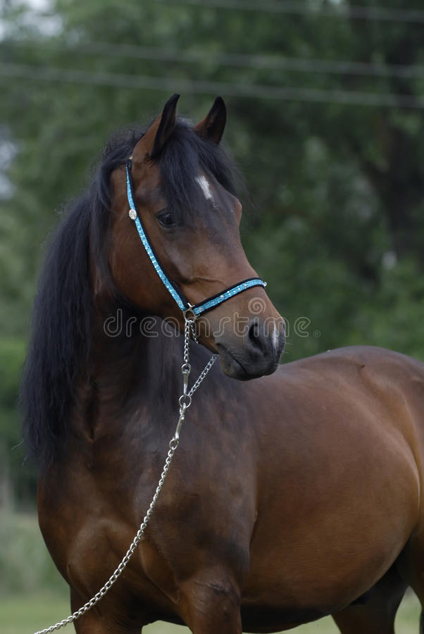 Download Brown arabian pony horse stock photo. Image of equestrian - 10555504
