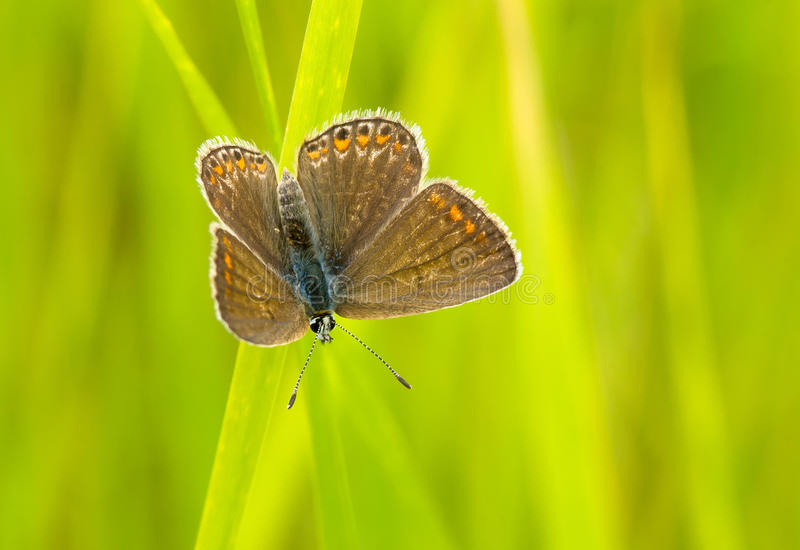 Download Brown Argus butterfly stock image. Image of closeup, proportion - 20689161