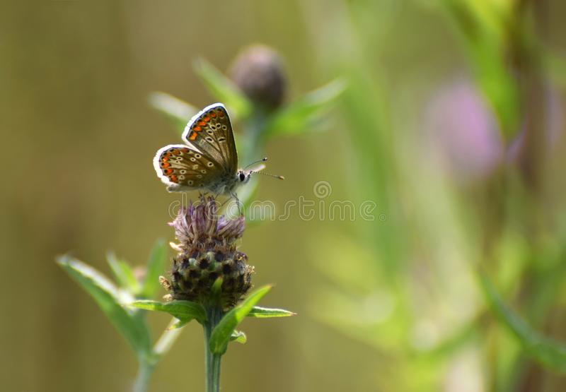 Brown Argus Butterfly in a Thistle. A Brown argus butterfly Aricia agestis on a thistle flower in a wild flower meadow in the Uk in July royalty free stock photo