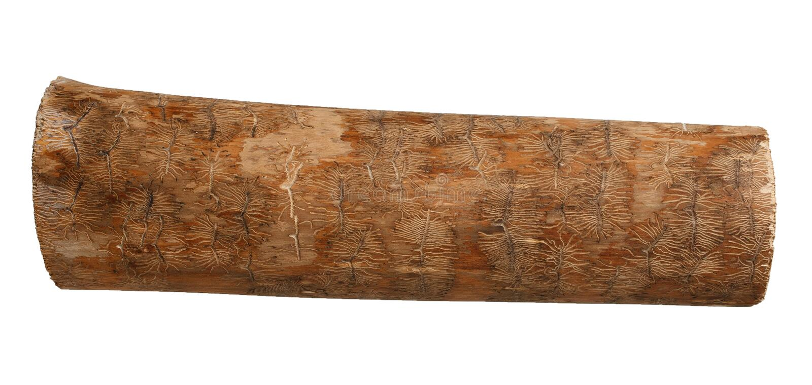 Ash tree wood log with bark beetle tracks royalty free stock photo