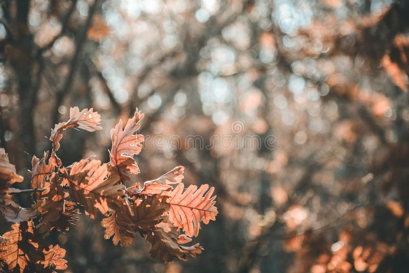 Brown autumn leaf nature. Brown autumn leaf hanging from the tree. Autumnal colors. background royalty free stock photography