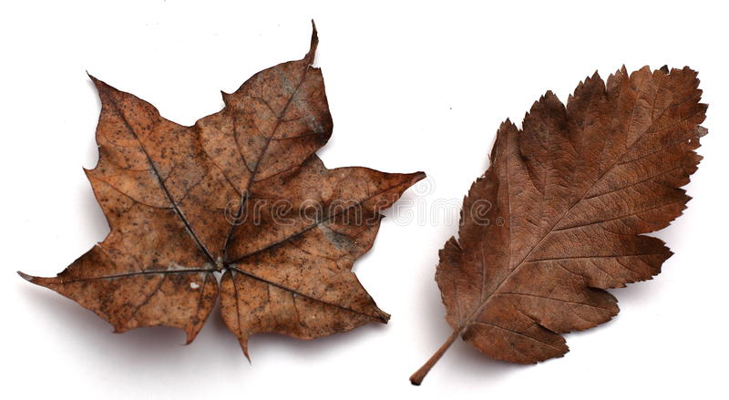 Download Brown Autumn leaves stock image. Image of venation, closeup - 14000457