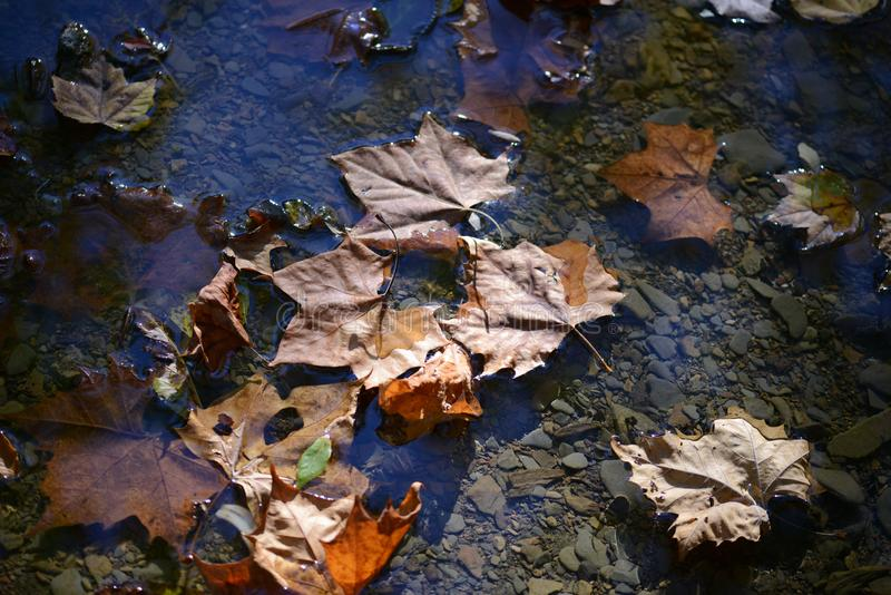 Brown autumn leaves rest on a stream in a shale basin of a stream. A leaf is an organ of a vascular plant and is the principal lateral appendage of the stem. The stock images