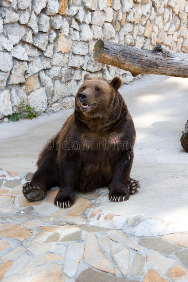 Brown-Bär lizenzfreie stockfotos
