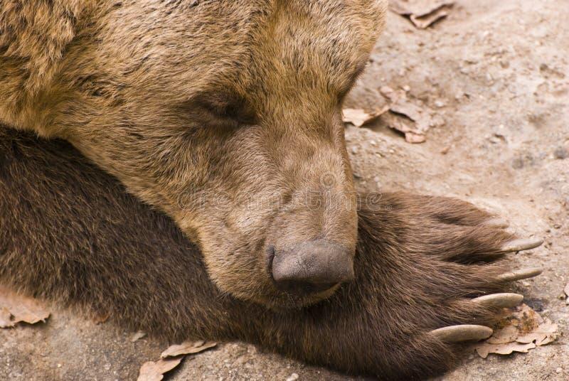 Brown-Bär stockfotos