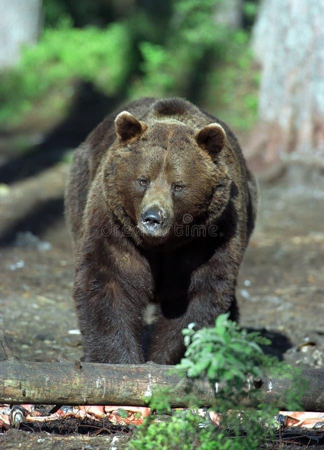 Download Brown-Bär stockfoto. Bild von schnauze, flaumig, alaska - 9080518