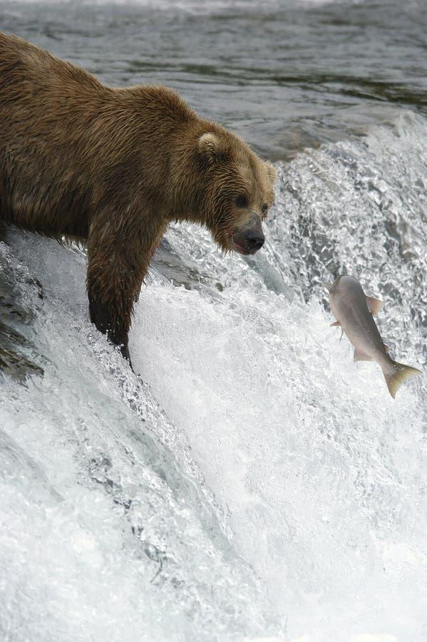Brown-Bär, der versucht, Lachse abzufangen stockfotografie