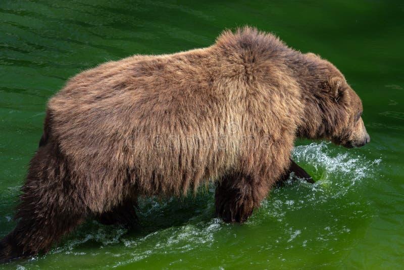 Brown-Bär im Wasser Porträt von Braunbär Ursus arctos beringianus lizenzfreie stockfotos