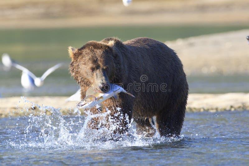 Brown-Bär mit Lachsen lizenzfreie stockfotografie