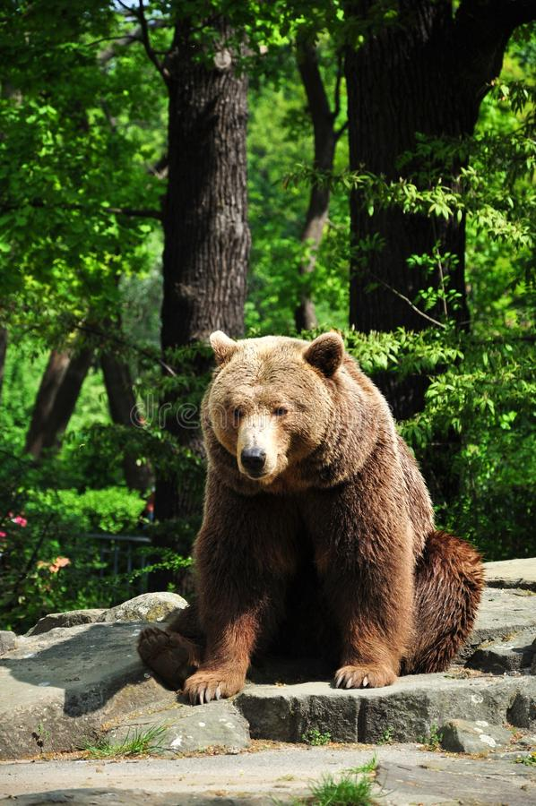 Brown-Bär am Zoo lizenzfreie stockfotografie
