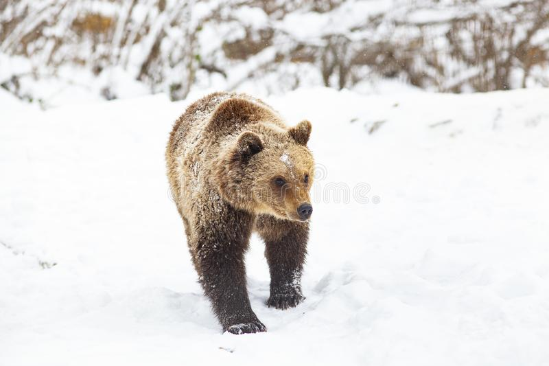 Brown-B?r im Schnee stockfoto