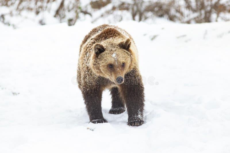 Brown-B?r im Schnee stockfotos
