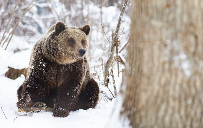 Brown-B?r im Schnee lizenzfreies stockfoto