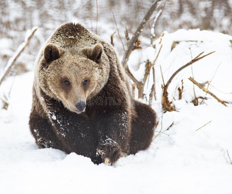 Brown-B?r im Schnee lizenzfreie stockbilder
