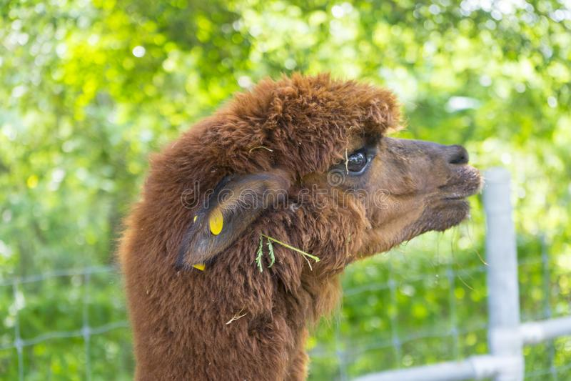 Brown baby alpaca head stock image