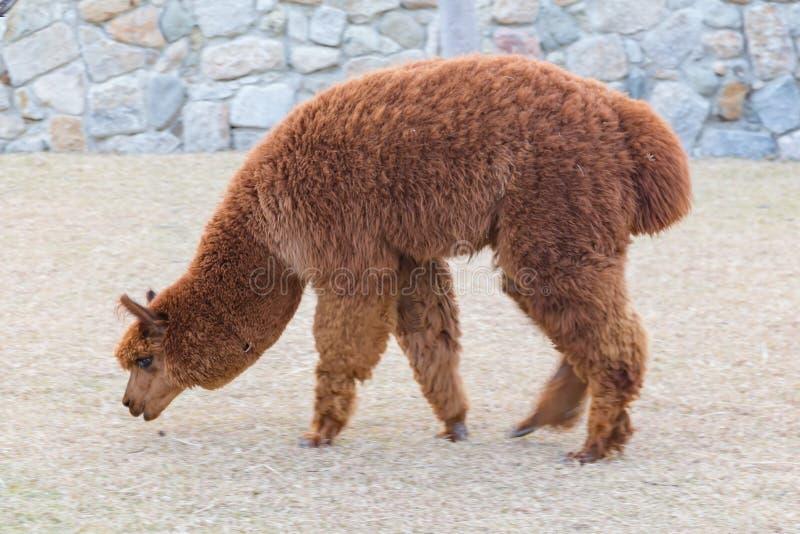 Brown baby alpaca slow walking royalty free stock images