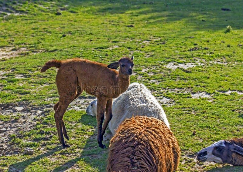 Brown baby alpaca stock photos