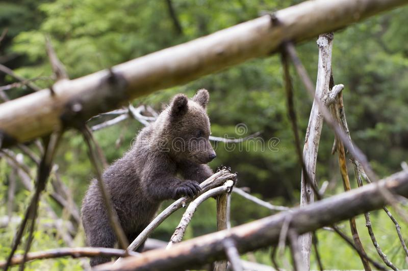 Baby bear in thick forest with fallen trees royalty free stock photography