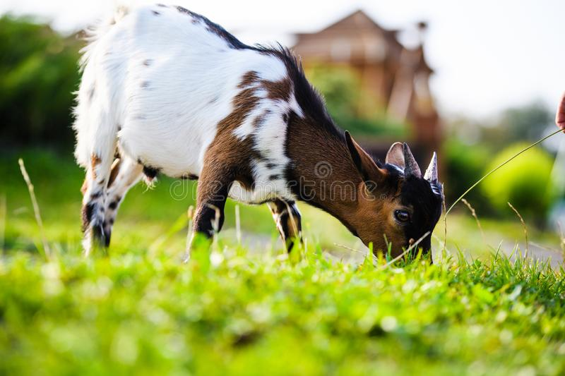 Brown baby goat kids stand in summer grass. Cute and funny. Agriculture, animal, domestic, eating, farm, farming, field, green, happy, little, mammal, meadow stock photos