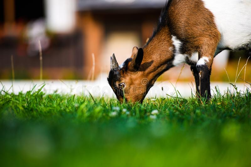 Brown baby goat kids stand in summer grass. Cute and funny. Agriculture, animal, domestic, eating, farm, farming, field, green, happy, little, mammal, meadow royalty free stock images