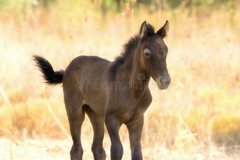 Brown baby horse portrait close up in motion. royalty free stock images