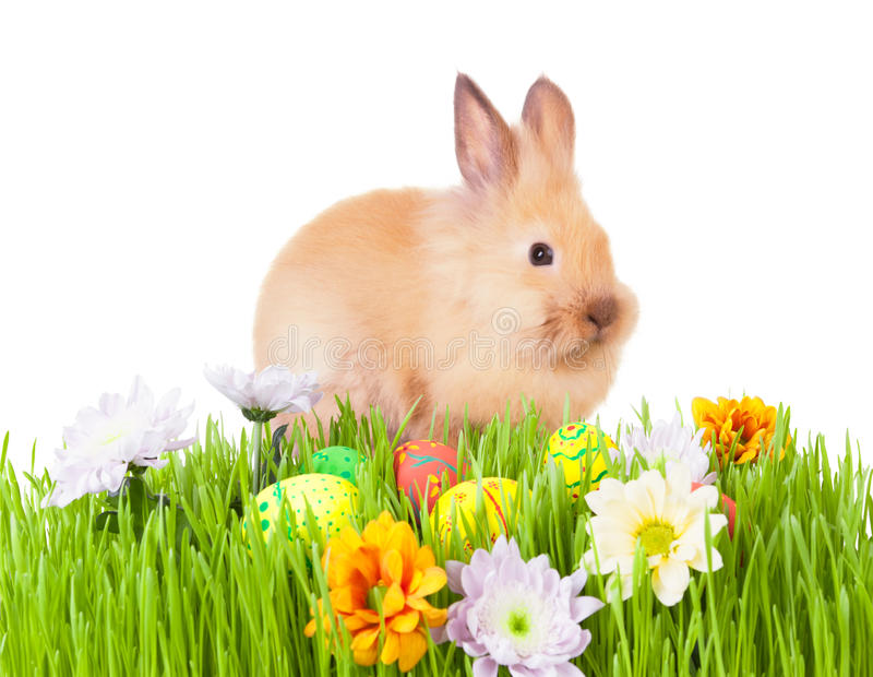 Brown baby rabbit in green grass with flowers and. Easter eggs, on white stock photos